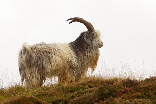 Wild Ceviot Billy Goat 1. Sept. '19.