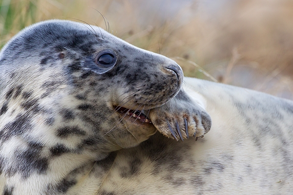 Grey Seal youngster amongst grasses 3. Nov '19.