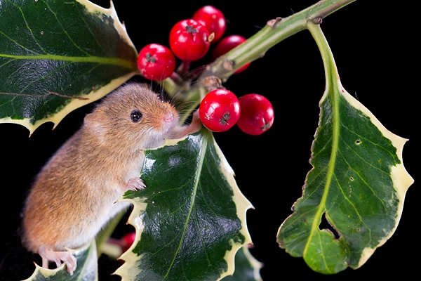 Harvest Mouse on holly 2. Nov '19.