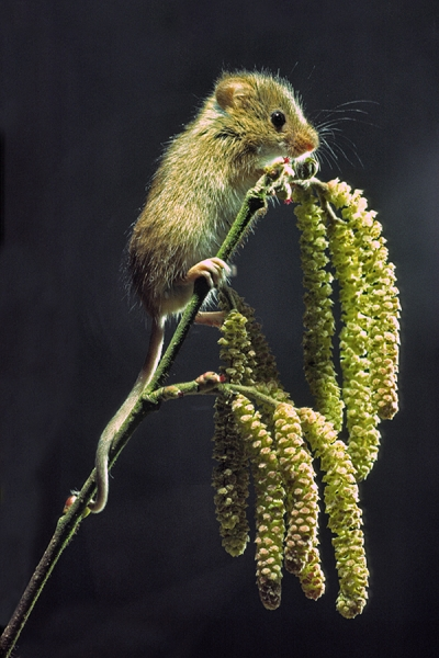 Harvest Mouse on hazel catkins.