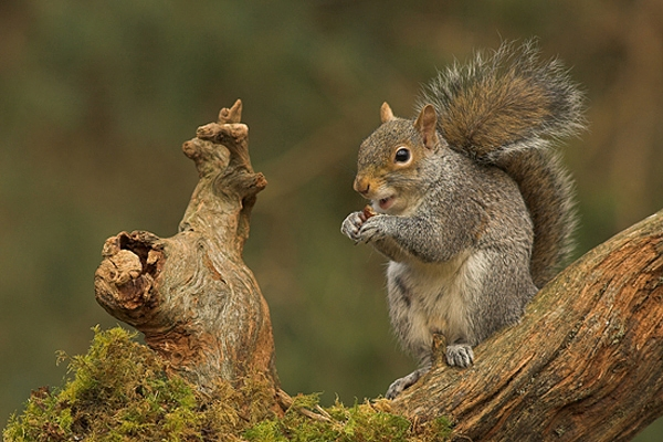 Grey Squirrel,sat eating nut.
