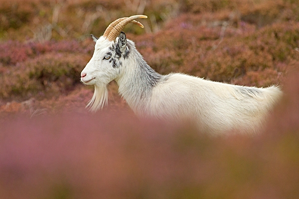 Female wild goat in heather 1. Sept. '20.