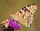Painted Lady butterfly feeding on thistle 1. Aug '13.