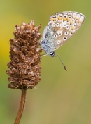 Female Common Blue butterfly. Aug '13.