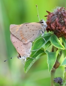 Mating Small Copper butterflies. Aug '13.