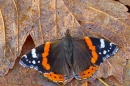 Red Admiral on leaves. Nov. '15.