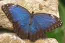 Blue Morpho butterfly.