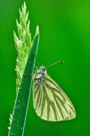 Green Veined White on grass stem.