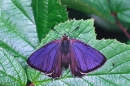 Purple Hairstreak,m.