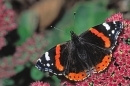 Red Admiral on stonecrop.
