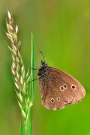 Ringlet on grass stem.