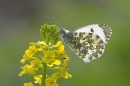 Female Orange Tip.