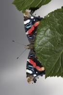 Red Admiral,underside,on plum leaf.