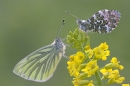 Green Veined White & Orange Tip butterflies.