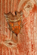Herald Moth on red painted wood. Oct '13.