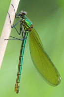Fem.Banded Demoiselle on reed stem.