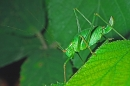 Female Bush Cricket.