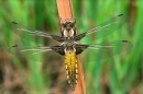 Female Broad Bodied Chaser on bracken stem.
