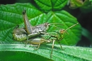 Mating Grasshoppers.