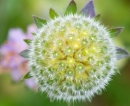 Field Scabious,close up. Aug '13.