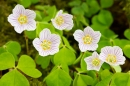Wood Sorrel. May '18.