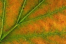 Wild Service Tree leaf detail.