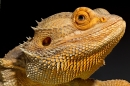 Bearded Dragon portrait. Oct. '17.