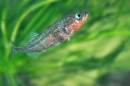 3 Spined Stickleback.