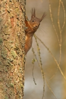 Red Squirrel on larch tree.