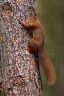 Red Squirrel climbing pine trunk
