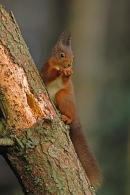 Red Squirrel, eating nut on dead pine.