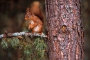 Red Squirrel on scots pine needle branch.