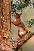 Red Squirrel standing on pine branch.