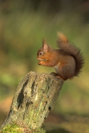 Red Squirrel feeding on stump.