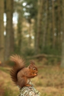 Red Squirrel feeding,in habitat.
