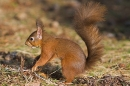Red Squirrel, foraging.