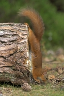 Red Squirrel gymnastics