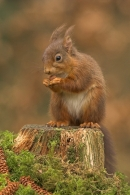 Red Squirrel on mossy stump.