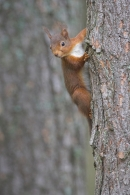 Red Squirrel on pine tree.