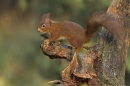 Red Squirrel on stump.