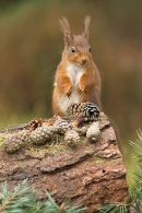 Red Squirrel and fir cones.