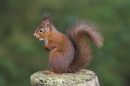 Red Squirrel sat up on stump.