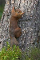 Red Squirrel clinging to base of pine tree.