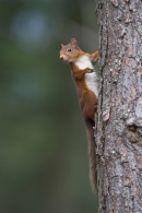 Red Squirrel clinging to the side of a scots pine.