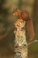 Red Squirrel on conifer stump.