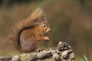 Red Squirrel with pine cones.