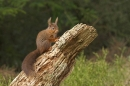 Red Squirrel on rotting stump.