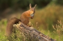 Red Squirrel stood on pine stump in heather.