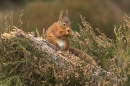 Red Squirrel feeding on pine stump in heather.