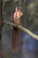 Red Squirrel,spot lit on branch.